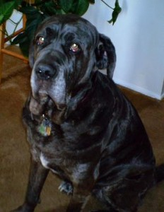 Neo Mastiff's serious look