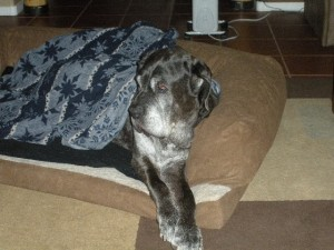 Neo Mastiff covered up in a couch bed