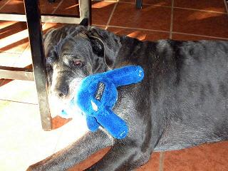 Neo Mastiff with blue bear toy in mouth
