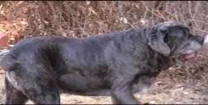 Macho Neo Mastiff