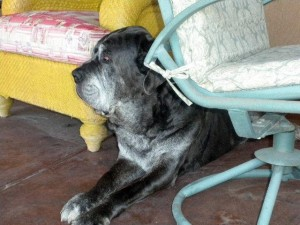 Neo Mastiff hiding behind chair