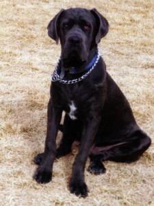 Neo Mastiff puppy