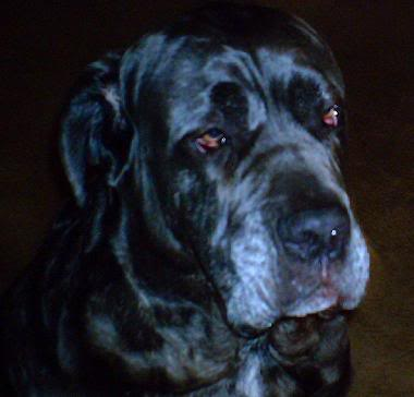 Shadrach the Neo Mastiff