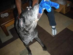 Neo Mastiff playing tuggie