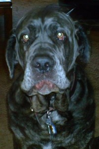Neo Mastiff making funny face