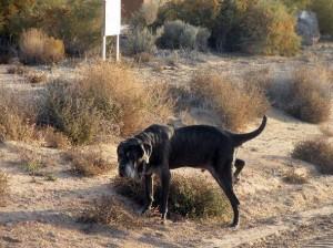 Neo Mastiff marking territory