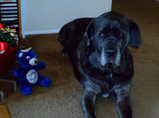 Neo Mastiff with bear toy