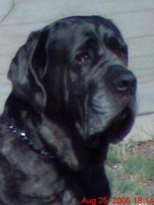 Neo Mastiff posing