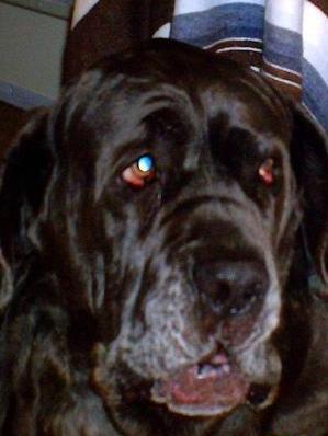 Neo Mastiff wants food