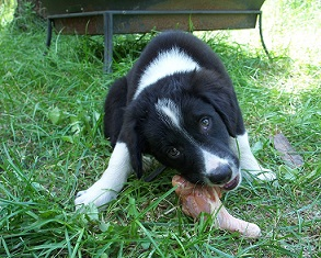 English Shepherd puppy eating an RMB