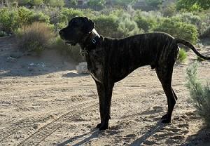 Great Dane on dirt road