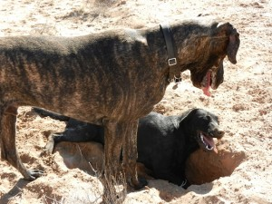 Great Dane and Labrador debating a hole that was dug