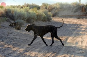 Great Dane on the move