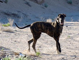 Great Dane on arroyo walk