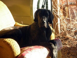 Regal Dane in chair