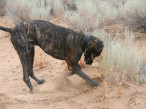Great Dane digging