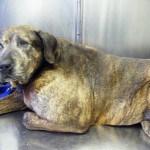 Vaccine damaged dog