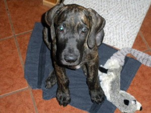 Great Dane puppy with toy