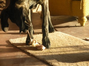 Great Dane pup eating green tripe