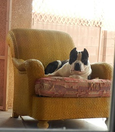 American Bully dog on his chair