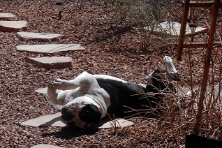 American Bully dog sunbathing on his back