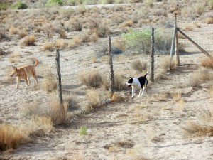 Dogs running fence