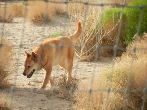 Carolina Dog hunting
