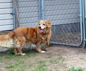Rosie the Toller at her gate