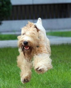 Wheaten terrier running