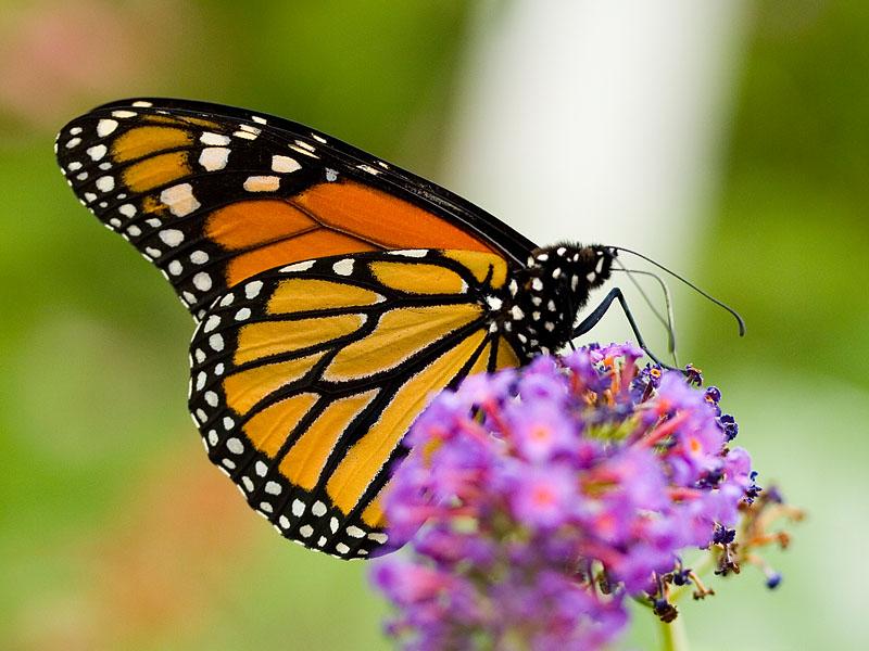 Butterfly Adversity