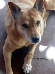 Carolina Dog Schatzie