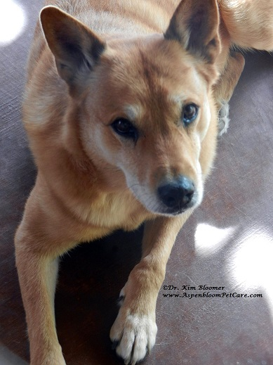 Schatzie the Carolina Dog