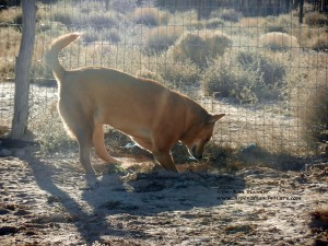 Carolina Dog digging
