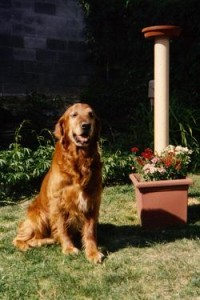 Golden retriever in garden