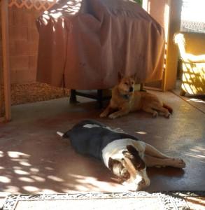 Am Bull and Carolina Dog laying patio together