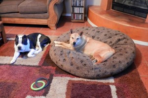 Am Bull on floor Carolina Dog in dog bed