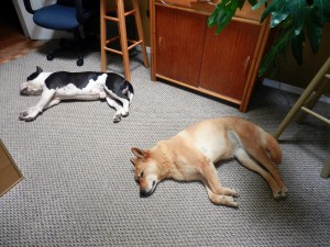 Am Bull and Carolina Dog lying inside house
