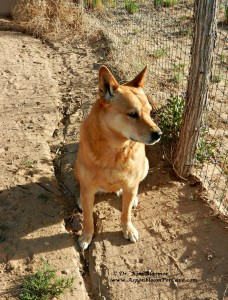 Carolina Dog looking at hot air ballloons