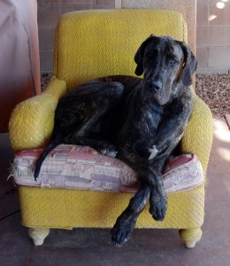 Meshach the Great Dane being elegant