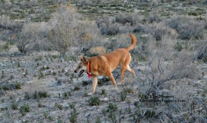 Carolina Dog Schatzie on the Move