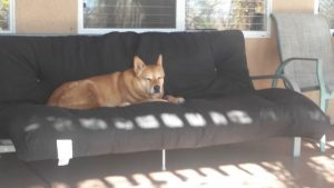 Carolina Dog on futon