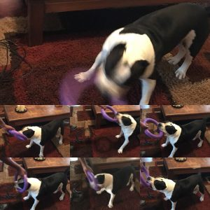 American Bully dog playing with Puller ring