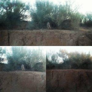 desert sand owls