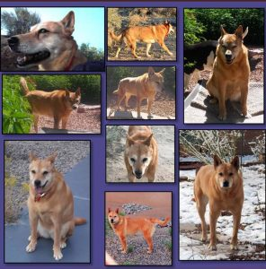 Our beautiful Carolina Dog