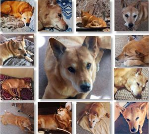beautiful Carolina Dog