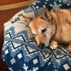 Carolina dog sleeping