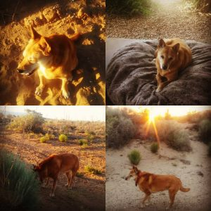 Carolina Dog in the desert