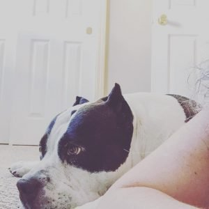 American bully lying next to human