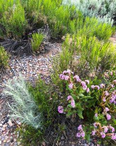 desert flowers copyright 2019 Dr. Kim Bloomer