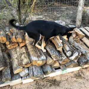 Carolina Dog puppy climbing woodpile